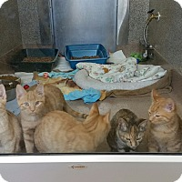 Domestic Shorthair Kitten for adoption in Chambersburg, Pennsylvania - Queenie
