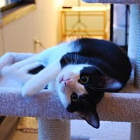 Domestic Shorthair Cat for adoption in Seattle, Washington - Panda