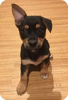Chihuahua Mix Puppy for adoption in Lexington, Kentucky - Curley