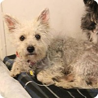 Poodle (Miniature) Mix Dog for adoption in Phoenix, Arizona - Cukita