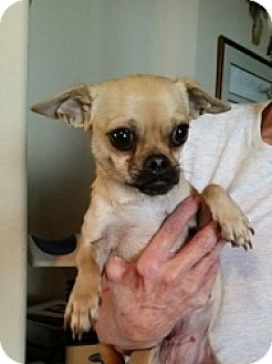 Chihuahua/Pug Mix Dog for adoption in Mesa, Arizona - Stacey