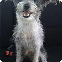 Adopt A Pet :: Scotty - Encino, CA