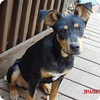 Adopt A Pet :: Copper(28 lb) GREAT Family Pet - Williamsport, MD