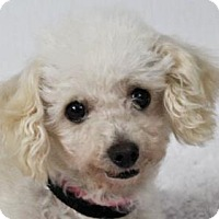 Miniature Poodle Dog for adoption in Colorado Springs, Colorado - Dolly