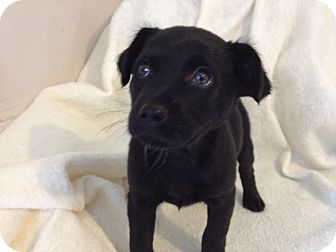 Shepherd (Unknown Type)/Labrador Retriever Mix Puppy for adoption in Manchester, Connecticut - PIPER  MEET ME 5/17