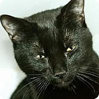 Adopt A Pet :: Bengal - New York, NY