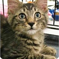Adopt A Pet :: KITTENValley1 - Plainville, MA