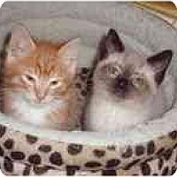 Adopt A Pet :: Cappucino & Chai - Arlington, VA