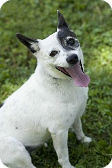 rat terrier australian cattle dog mix spring valley ny rat terrier australian cattle dog mix 1759
