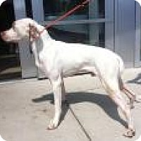 Pointer Dog for adoption in Mount Pleasant, South Carolina - Jazz Man
