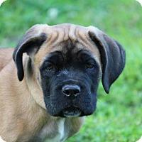 Adopt A Pet :: Cedar - Virginia Beach, VA