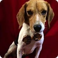 Adopt A Pet :: Sparky - Thomspn, CT