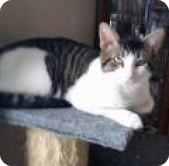 Domestic Shorthair Cat for adoption in Chicago, Illinois - Terry