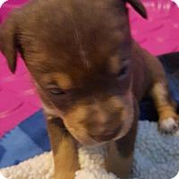 Adopt A Pet :: EBONY CHOCOLATE BOY - Pompton Lakes, NJ