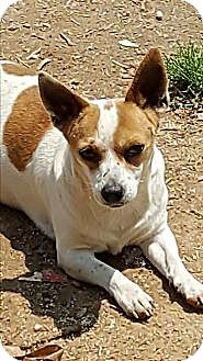 Jack Russell Terrier/Chihuahua Mix Dog for adoption in Ararat, Virginia - Scooby