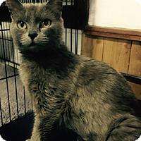 Adopt A Pet :: Stella (Russian Blue) - Witter, AR