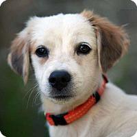 Adopt A Pet :: Flash - Sudbury, MA