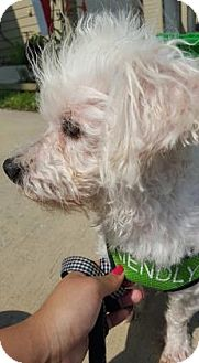 Miniature Poodle/Maltese Mix Dog for adoption in Santa Fe, Texas - Willie H.