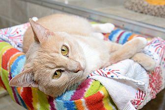 Domestic Shorthair Cat for adoption in Whitehall, Pennsylvania - Emma