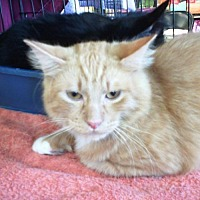 Domestic Mediumhair Cat for adoption in Fort Worth, Texas - Tanner