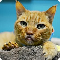 Domestic Shorthair Cat for adoption in New Orleans, Louisiana - Dr. Weenus L. Wrinkle