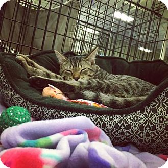 Domestic Shorthair Cat for adoption in Erwin, Tennessee - Paulie