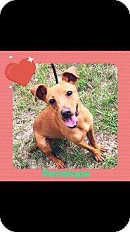 Miniature Pinscher Mix Dog for adoption in Longview, Texas - Penelope