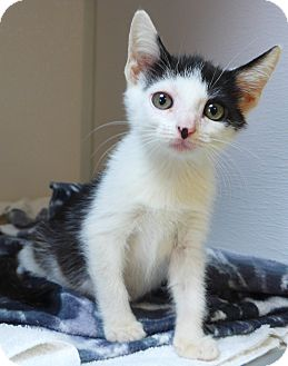 Domestic Mediumhair Kitten for adoption in Manning, South Carolina - Marble