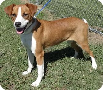 Labrador Retriever/Beagle Mix Puppy for adoption in Olive Branch, Mississippi -