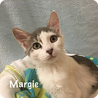 Domestic Mediumhair Kitten for adoption in Foothill Ranch, California - Margie