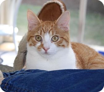 Domestic Shorthair Kitten for adoption in Knoxville, Tennessee - Benji