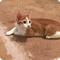 Domestic Shorthair Kitten for adoption in Pleasanton, California - Sherbert