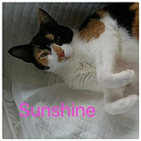 Domestic Shorthair Cat for adoption in Satellite Beach, Florida - Sunshine
