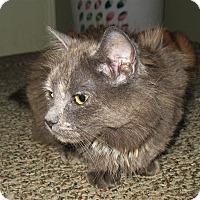 Adopt A Pet :: Aphrodite - Queensbury, NY