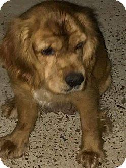 Cocker Spaniel Mix Dog for adoption in Brownsville, Texas - Sandy