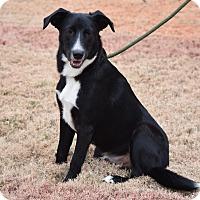 Border Collie/Labrador Retriever Mix Dog for adoption in Greenfield, Wisconsin - Buddy