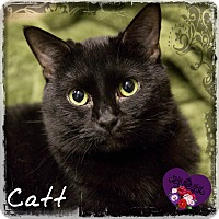 Domestic Shorthair Cat for adoption in Germantown, Ohio - Catt