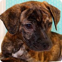 Adopt A Pet :: Tatters - Glastonbury, CT