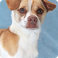 Dachshund/Jack Russell Terrier Mix Dog for adoption in Encinitas, California - Chimichanga
