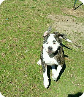 American Bulldog Dog for adoption in Norwood, Georgia - Gumbo