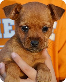 chihuahua pomeranian mix puppies for sale deena adopted puppy londonderry nh pomeranian 2913