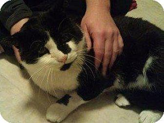 Domestic Shorthair Cat for adoption in Chaska, Minnesota - Tango