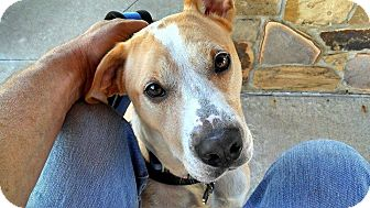 Labrador Retriever/Pointer Mix Dog for adoption in Irving, Texas - Sawyer