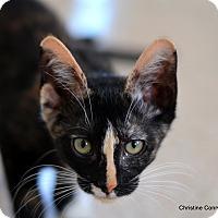Adopt A Pet :: Shelby - Island Park, NY