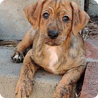 Adopt A Pet :: Marmaduke - La Habra Heights, CA