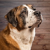 St. Bernard Dog for adoption in Glendale, Arizona - Emily