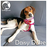 Adopt A Pet :: Daisy Duke - Novi, MI