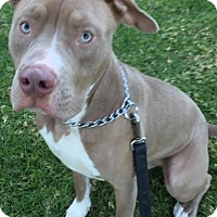 Pit Bull Terrier Dog for adoption in Los Angeles, California - Toby