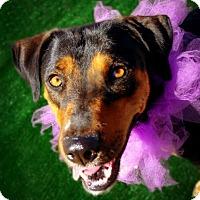 Adopt A Pet :: Tilly - Casa Grande, AZ