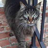 Maine Coon Cat for adoption in Arcata, California - Teddy